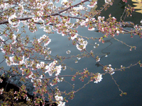 050405_cherry_blossoms_02